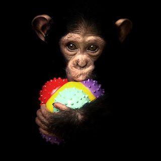 Chimpanzee-midlife-crisis